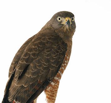 Hawks-3